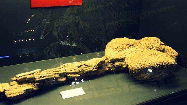アンキロサウルス類の尾