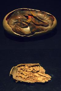 オヴィラプトルの胚