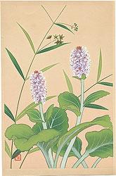 高山植物図譜 スズサイコ・ウルップソウ / 井上正晴