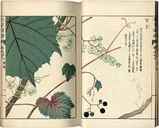 本草図譜 巻之廿八 蔓草類七 / 岩崎灌園